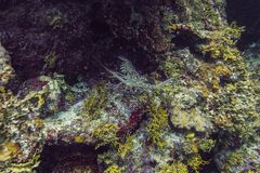 карибский омар spiny Стоковая Фотография RF