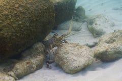 карибский омар spiny Стоковая Фотография