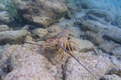 карибский омар spiny Стоковые Фотографии RF