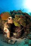 карибский омар spiny стоковое фото rf