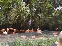 Карибский фламинго стоковое изображение rf