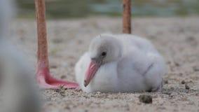 Карибский цыпленок фламинго (ruber ruber Phoenicopterus) сток-видео