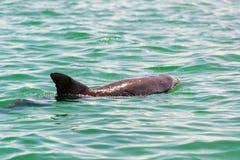 карибское море дельфина стоковое фото rf