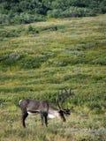 Карибу Аляски - национального парка Denali стоковые изображения