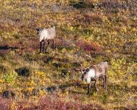 Карибу 2 быков на тундре падения Стоковое Изображение RF