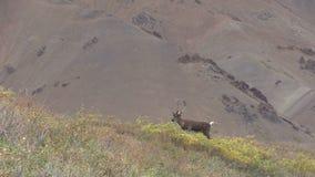 Карибу Bull в бархате сигналит внутри акции видеоматериалы