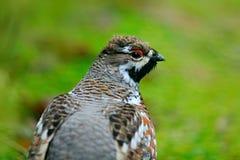 Карие тетеревиные, bonasia рябчика, портрет редкой птицы леса, Швеции Стоковое фото RF