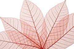 Каркасные листья Стоковое Изображение