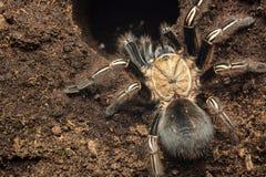 Каркасный тарантул Стоковое Изображение RF