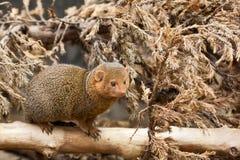 карликовое parvula mongoose helogale южное Стоковое Фото