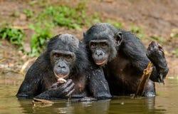Карликовый шимпанзе в воде Paniscus лотка карликового шимпанзе стоковое фото