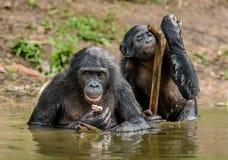Карликовый шимпанзе в воде Paniscus лотка карликового шимпанзе стоковые фото