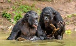 Карликовый шимпанзе в воде Paniscus лотка карликового шимпанзе стоковое изображение