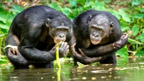 Карликовый шимпанзе в воде Paniscus лотка стоковые фотографии rf