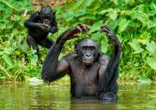 Карликовый шимпанзе в воде Paniscus лотка стоковое фото rf
