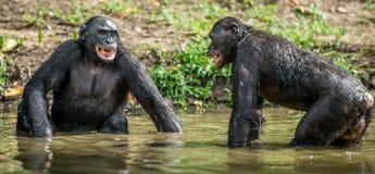Карликовый шимпанзе в воде Paniscus лотка стоковая фотография