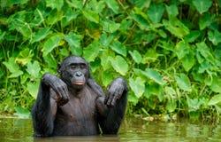 Карликовый шимпанзе в воде Paniscus лотка стоковые фото