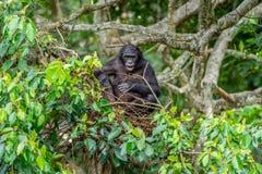 Карликовый шимпанзе на дереве в естественной среде обитания стоковое изображение rf