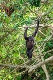 Карликовый шимпанзе на дереве в естественной среде обитания стоковая фотография rf