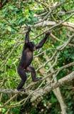 Карликовый шимпанзе на дереве в естественной среде обитания стоковые изображения