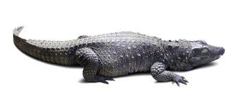 карлик африканского крокодила над белизной Стоковые Фото