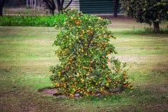 Карлик Буш с tangerines Низкое дерево с малыми разнообразиями апельсинов стоковые фотографии rf