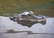 карлик крокодила Стоковые Изображения