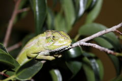 карлик хамелеона плащи-накидк Стоковые Фото