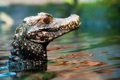 карлик s caiman более cuvier Стоковое Изображение