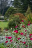 Кармазин цветет Afeild 2 Стоковая Фотография RF