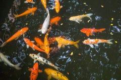 Карп в бассейне Стоковые Фотографии RF
