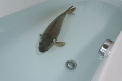 Карп в ванне Стоковое фото RF