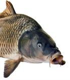Карп головных рыб большой Стоковое Фото