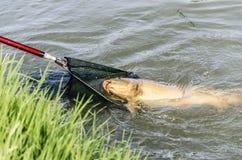 Карп рыбной ловли Стоковая Фотография
