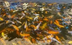 Карп Commonl в воде стоковая фотография