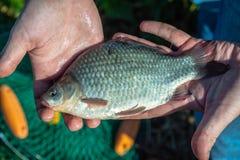 Карп Crucian в руках рыболова Стоковые Изображения RF