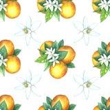Картина акварели апельсинов Стоковое Фото