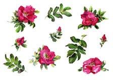 Картина акварели розовых цветков Briar handmade нежная Стоковые Фото