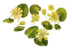 Картина акварели первых желтых цветков первоначально на белом backgr Стоковая Фотография RF
