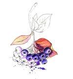 Картина акварели реалистическая Ягоды Aronia Стоковое Изображение RF