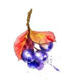 Картина акварели реалистическая Ягоды Aronia Стоковые Изображения RF