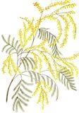 Картина акварели цветет мимоза Стоковая Фотография
