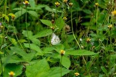 Картина бабочки, белое красочное во времени лететь, и остров цветков Стоковая Фотография
