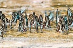 Картина бабочки близкая поднимающая вверх Стоковые Изображения RF