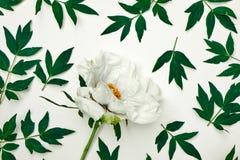 Картина белых пиона и листьев на белой предпосылке Стоковое Фото