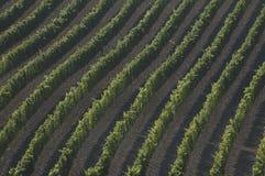 Картина виноградника стоковая фотография