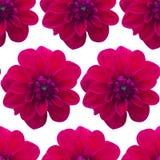 Картина георгина красная безшовная цветок предпосылки красивейший Стоковые Изображения