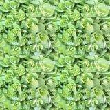 Картина декоративных лист капусты безшовная Салатовые розетки листьев стоковая фотография