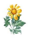 Картина желтого цвета, цветок иллюстрации акварели, солнцецвет Стоковые Изображения RF