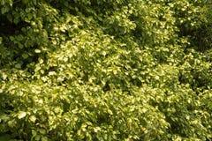 Картина зеленых листьев Стоковое Изображение